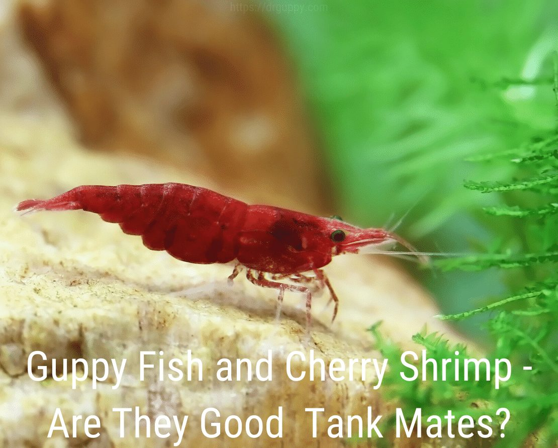 Guppy Fish and Cherry Shrimp - Are They Good Tank Mates?