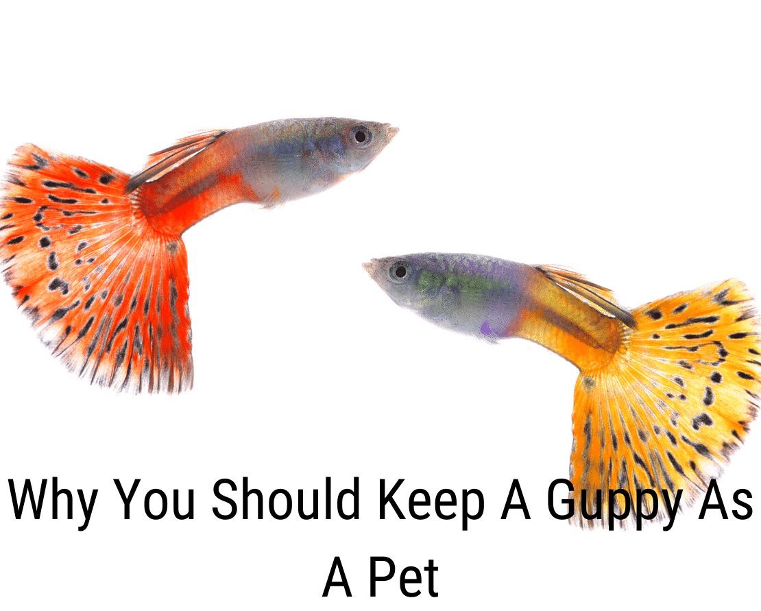 Why You Should Keep A Guppy As A Pet
