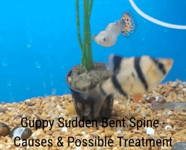 Guppy Sudden Bent Spine - Causes & Possible Treatment
