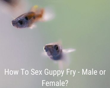 How To Sex Guppy Fry - Male or Female?
