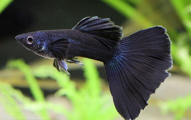 Black Guppy.