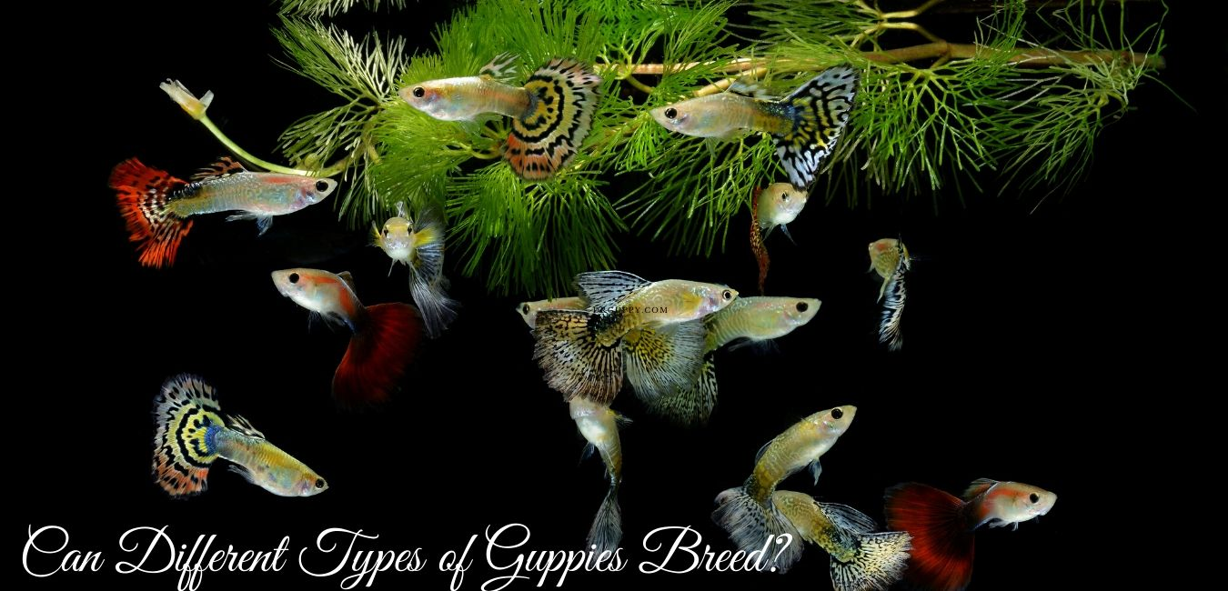 Can Different Types of Guppies Breed?