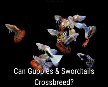 can guppies breed with swordtails?