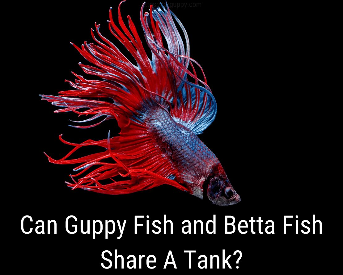 Can Guppy Fish and Betta Fish Share A Tank?
