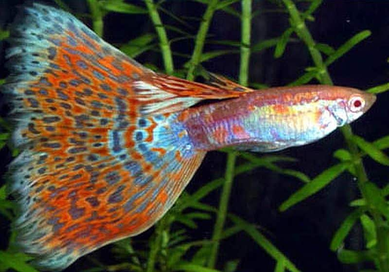 Delta Tail Guppy.