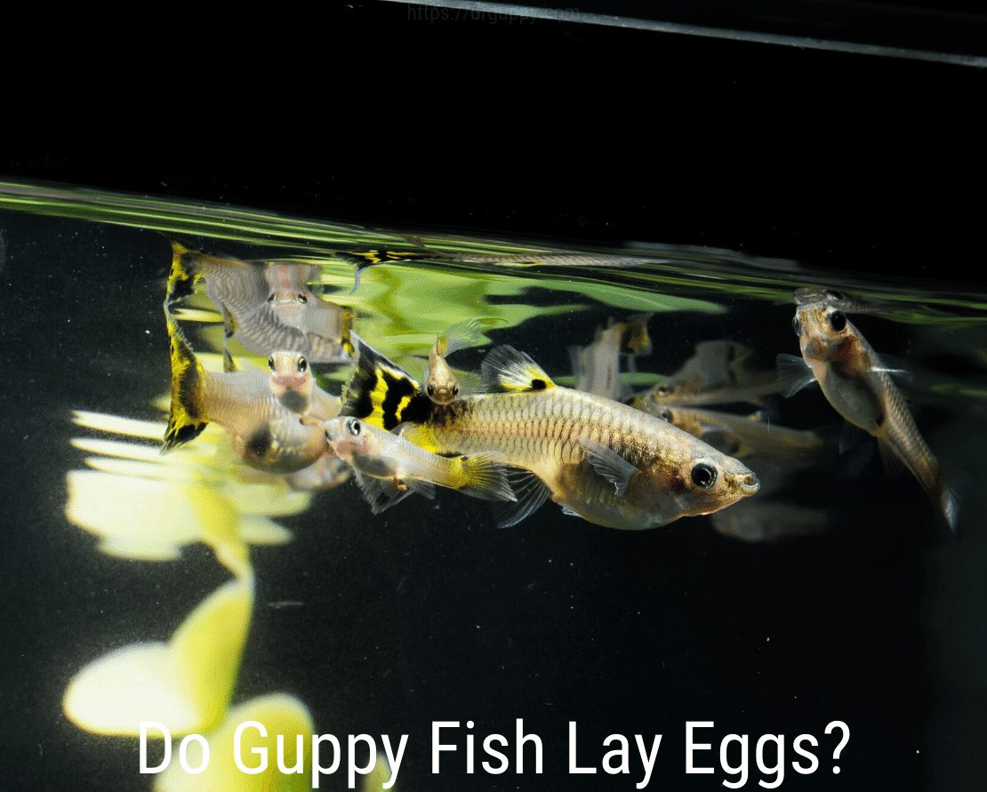 Do Guppy Fish Lay Eggs?