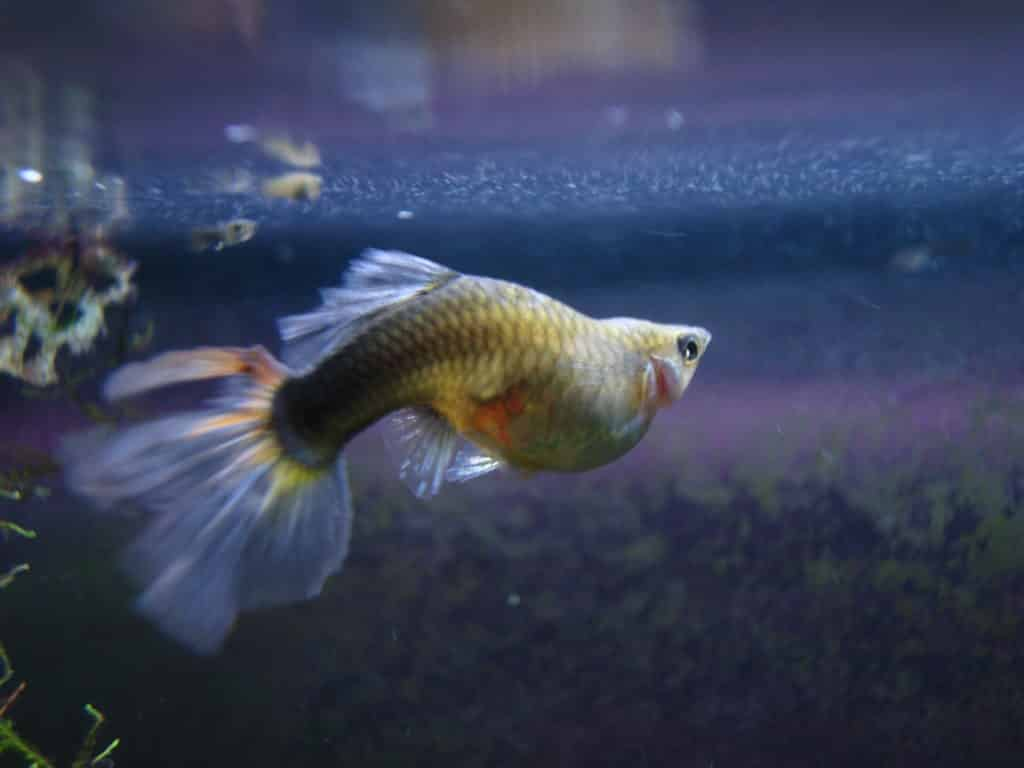 Guppy Fish Dropsy - Causes & Possible Treatment