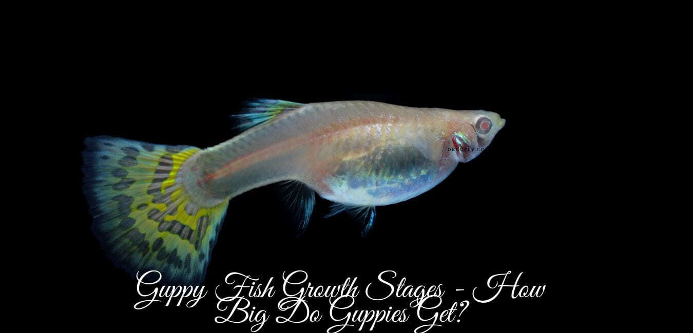 Guppy Fish Growth Stages - How Big Do Guppies Get?