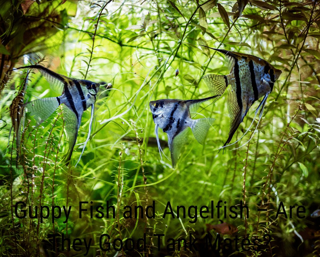 Guppy Fish and Angelfish – Are They Good Tank Mates?