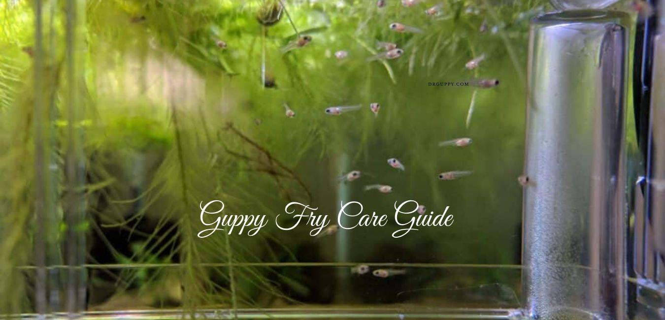Guppy Fry Care Guide - How To Raise Baby Guppies?