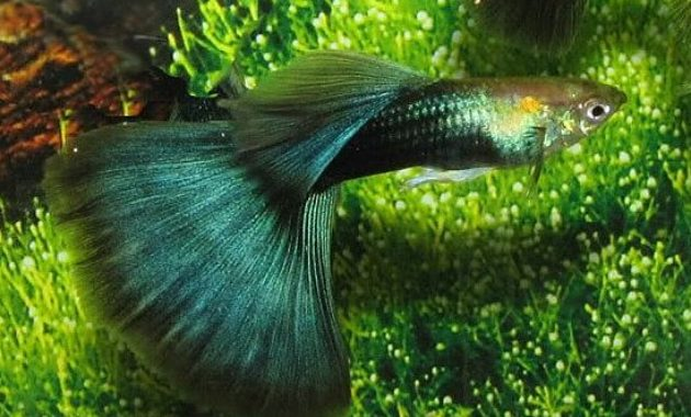 Half-black Green Guppy.