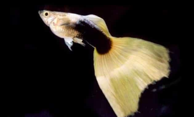 Half-black Yellow guppy