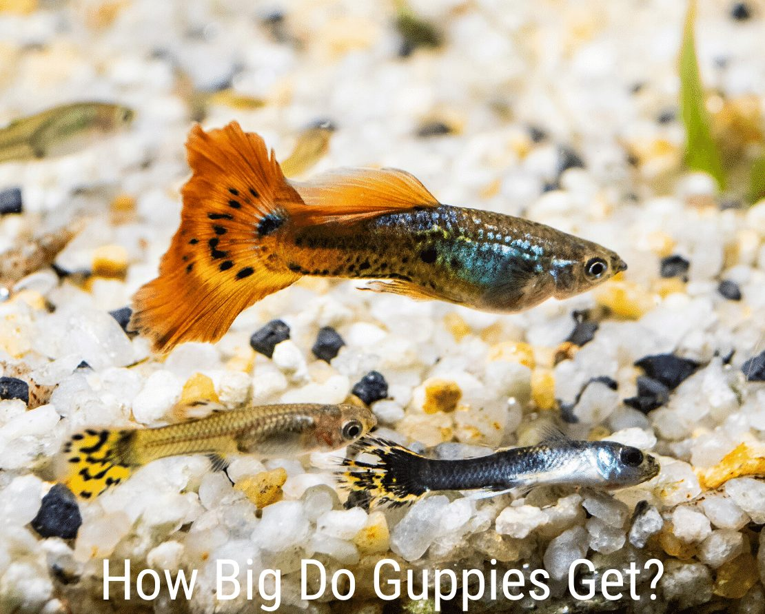 How Big Do Guppies Get?