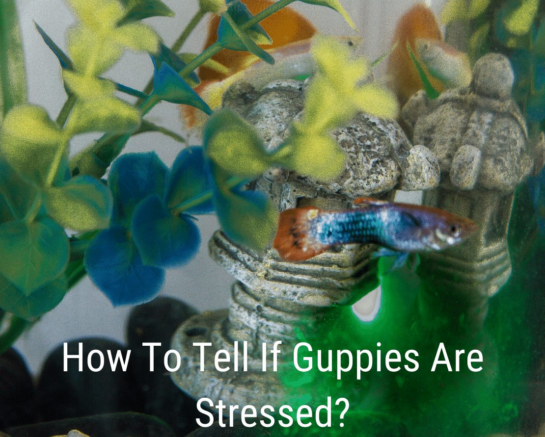 How To Tell If Guppies Are Stressed