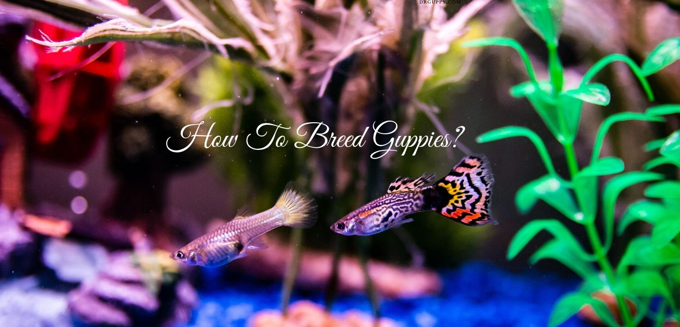 How to Breed Guppies? - A Guide