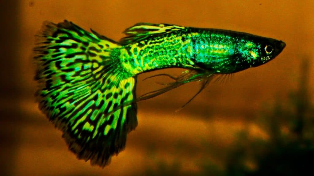 Green Metalhead Cobra Guppy