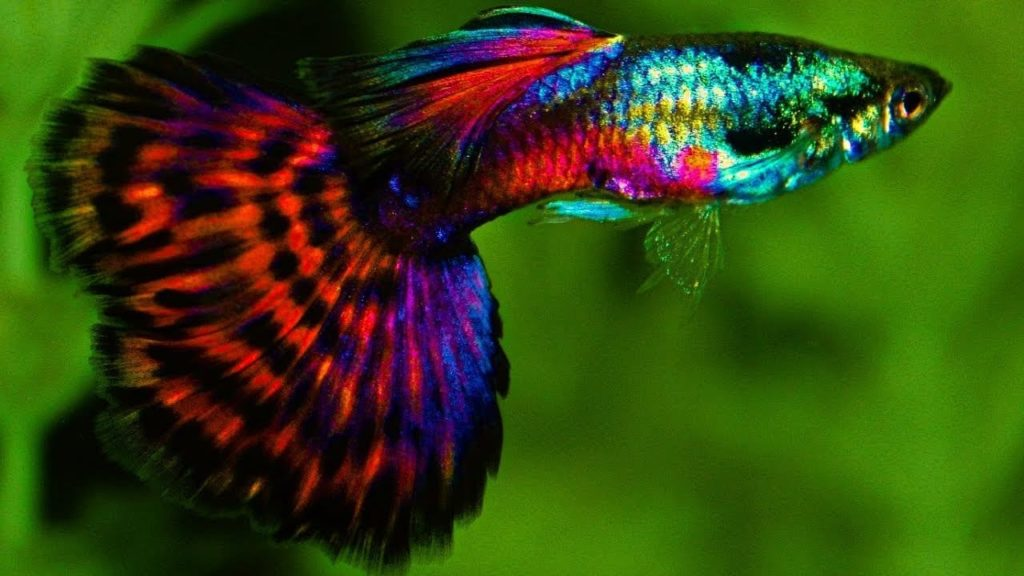 Red Platinum Mosaic Tail Guppy.