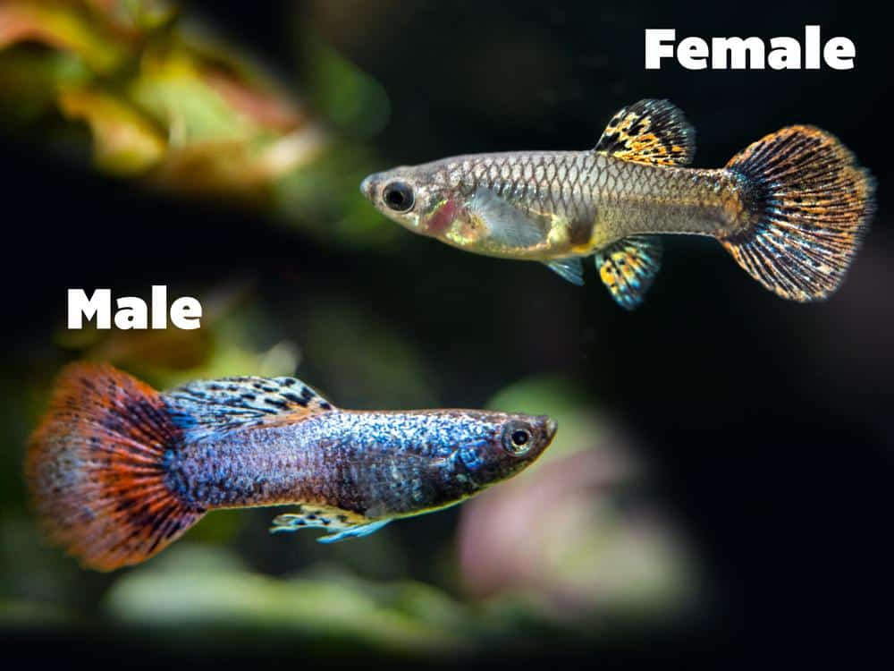 Female & Male Magenta Guppies.