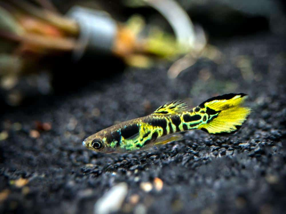 Yellow Endler Guppy.