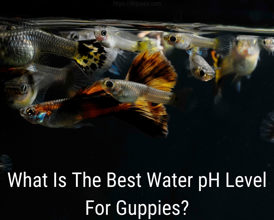 Guppy Fish Water PH Level - Ideal Number