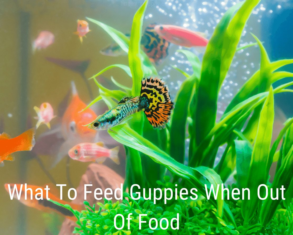 What To Feed Guppies When Out Of Food