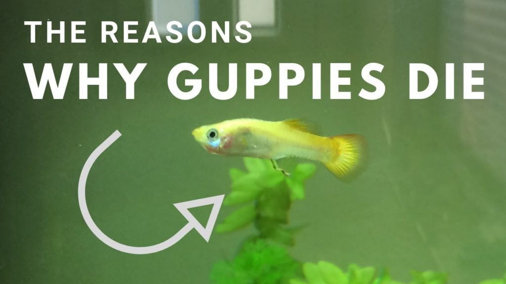 Why Do My Guppies Keep Dying?