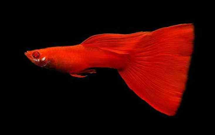 Full Red Albino Guppy.