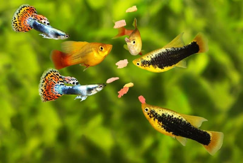 Can Guppies And Platies Crossbreed?