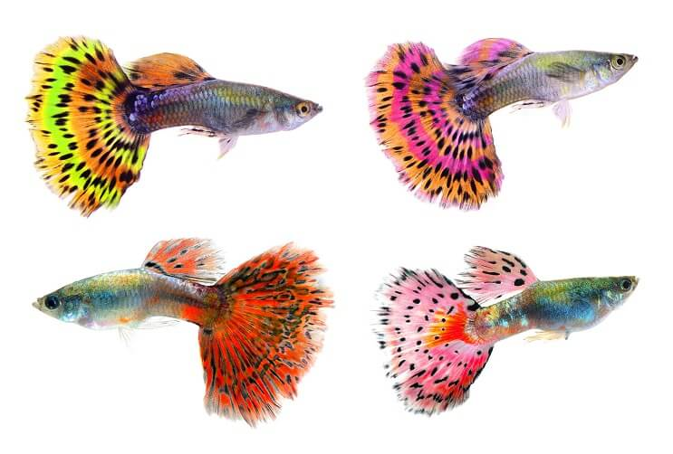Fancy Guppies.