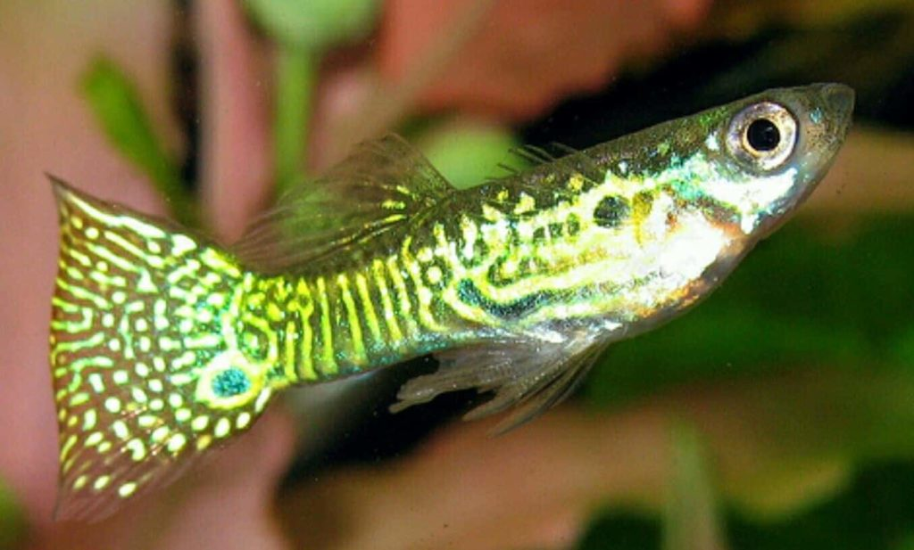 Golden Snakeskin Guppy.