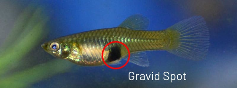 Female guppy gravid spot.