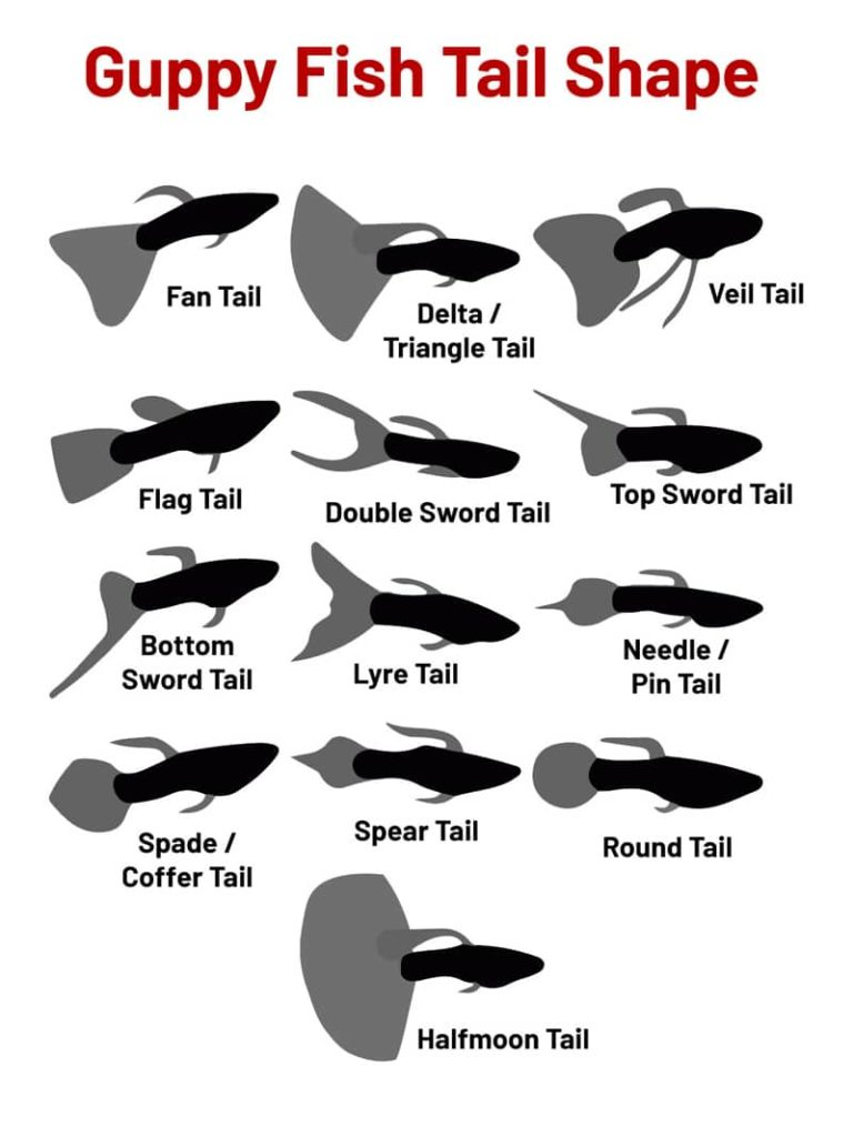 Guppy FIsh Tail Shapes.