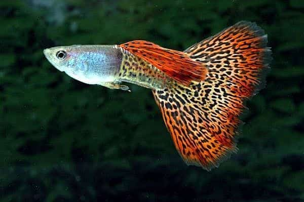 Leopard Tail Guppy.
