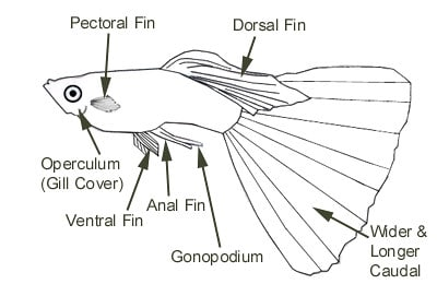 Adult Male Guppy - Parts