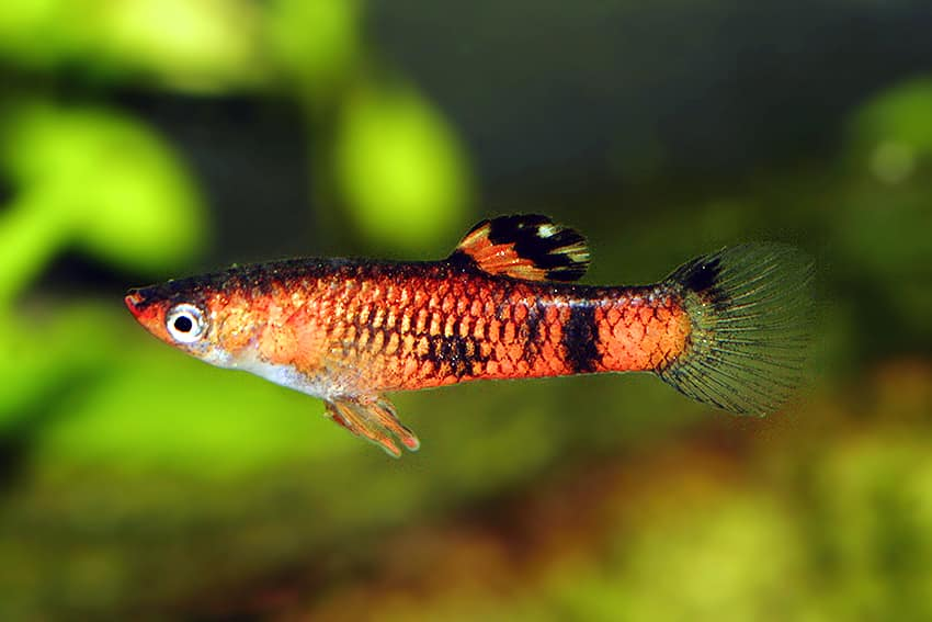 Red Guppy.