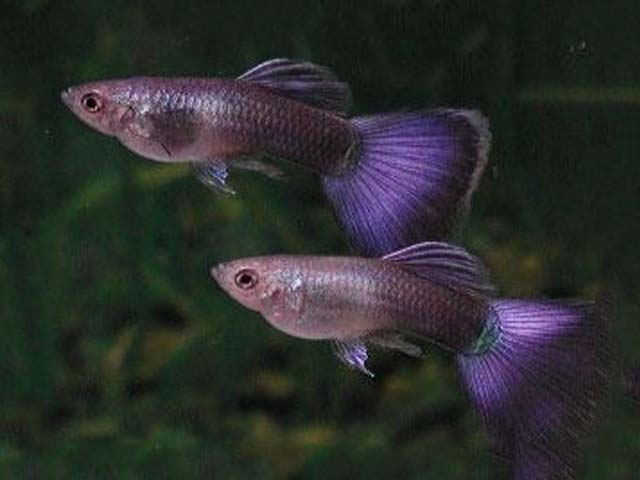 Purple Guppies.