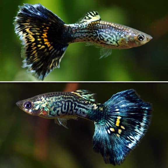 Blue cobra guppies.