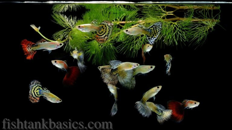 Guppies in a fish tank with floating aquarium plants.
