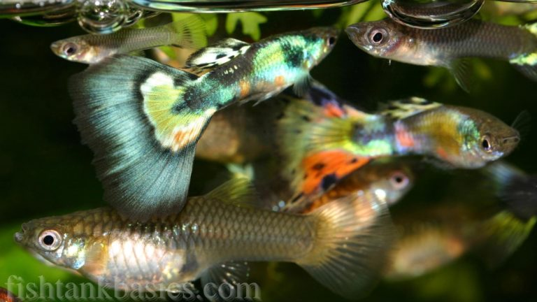 Male and female guppies in a fish tank.